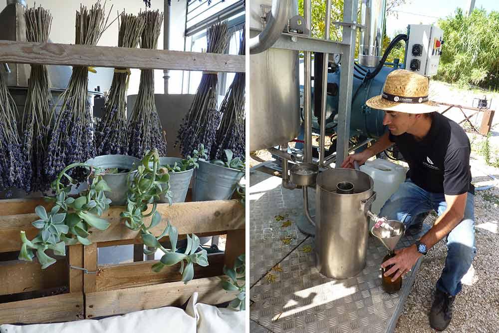 Lavandin, plantes grasses et Gaël Briez en train de distiller