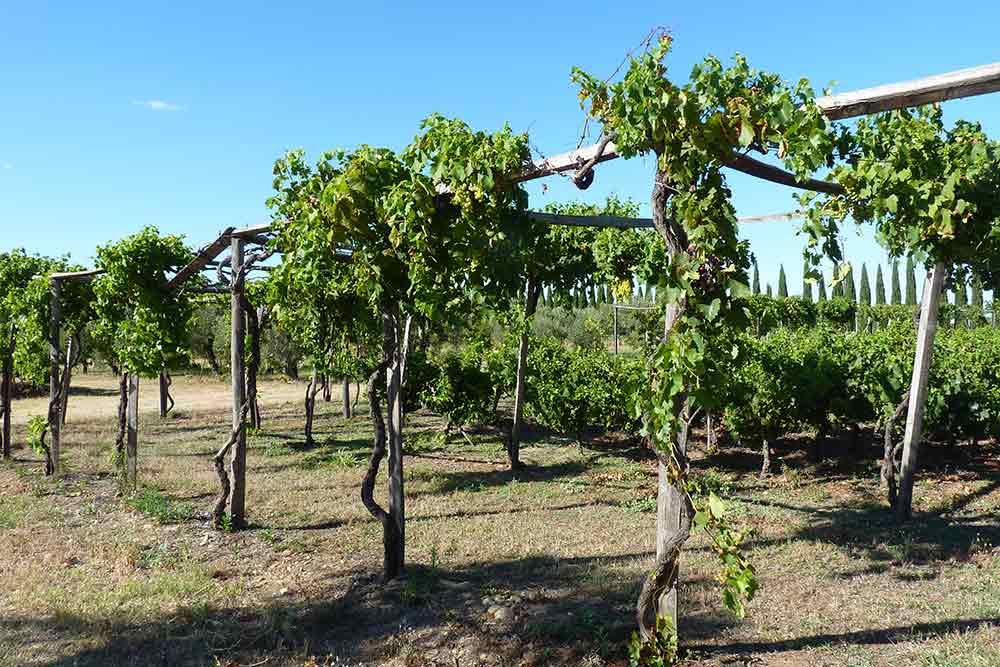 Terre d'Argence - Vigne romaine en échalas