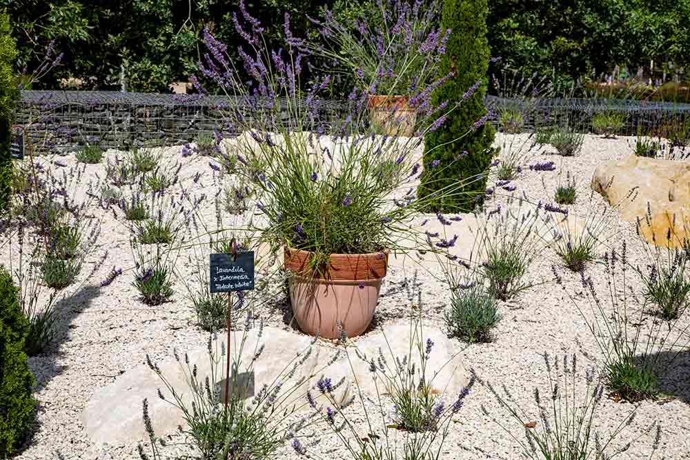 Anjou - Différentes espèces de lavandes y trouvent leur place.