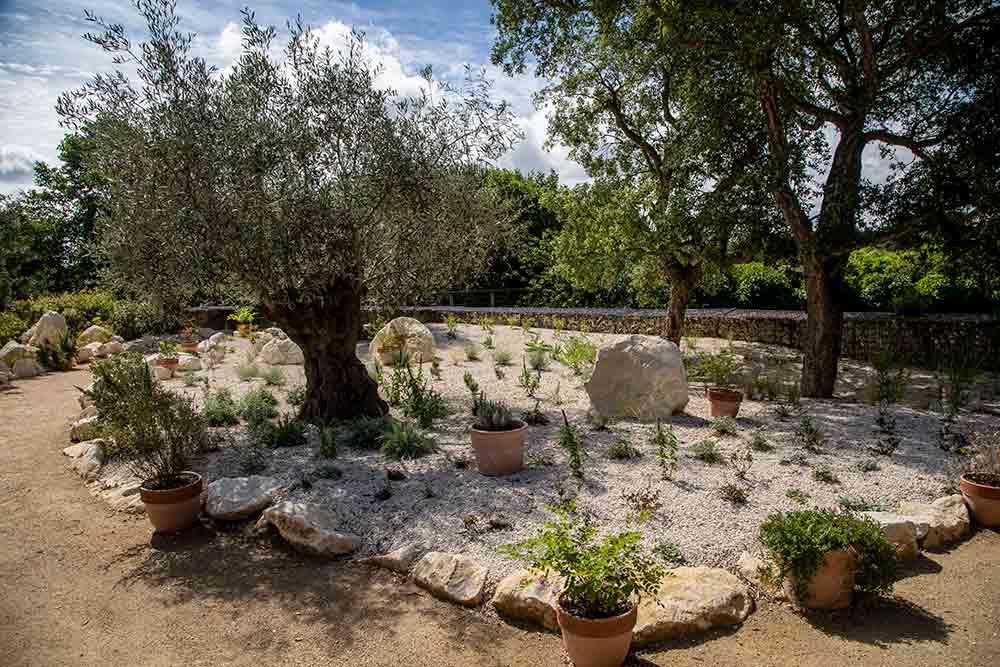 Anjou - L'olivier trône dans son espace sans eau.