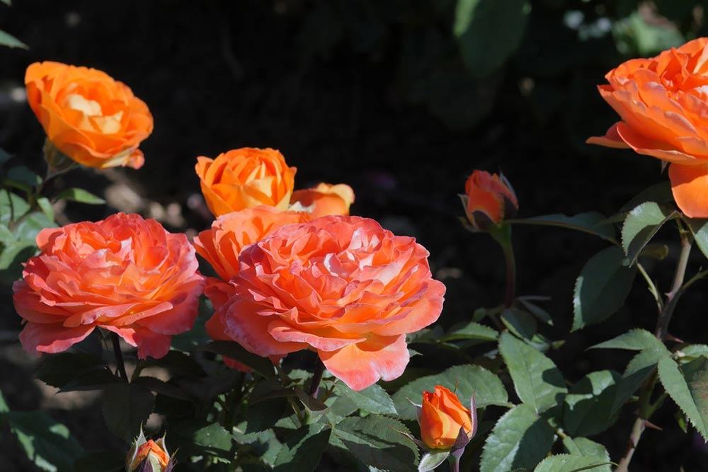 La rose Terra Botanica® a été inaugurée cet été. (©Pépinières Chastel)