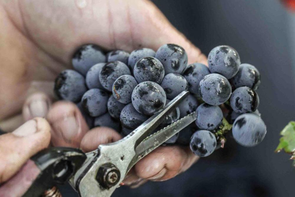Chateau des Annereaux - des raisins d'une qualité rare