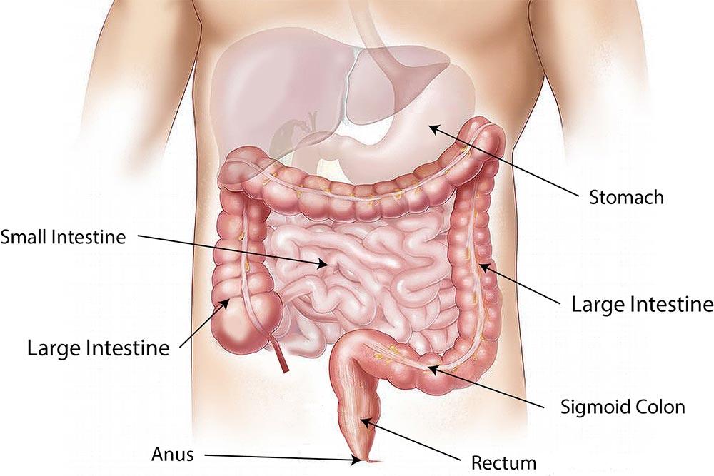 Les intestins et le microbiote