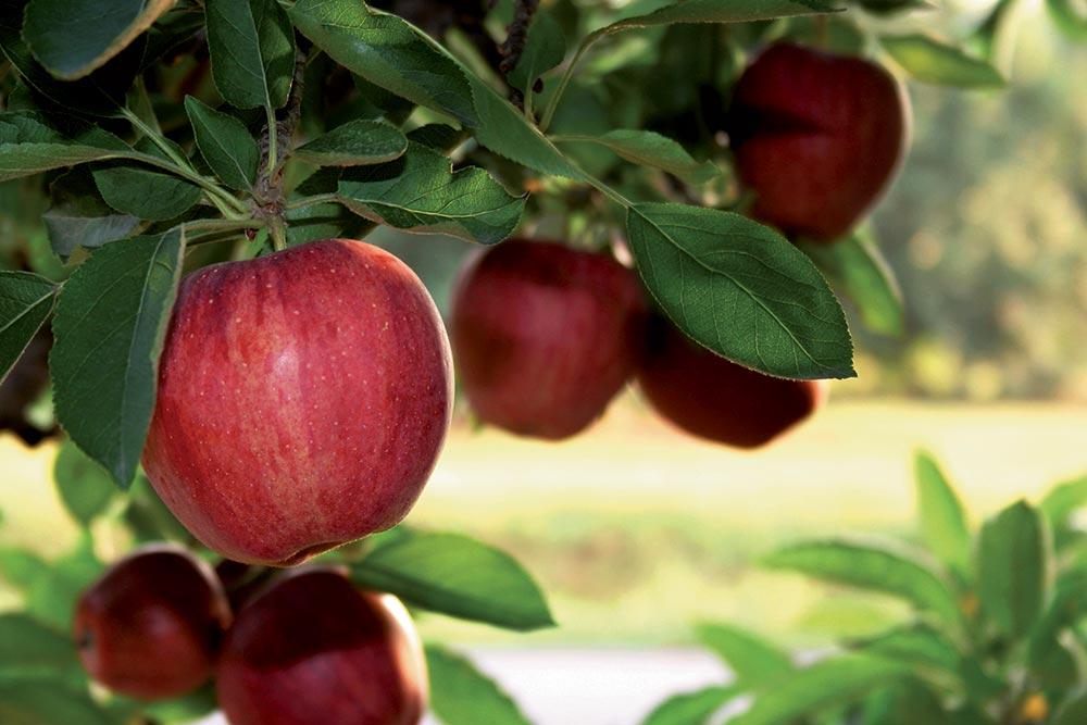 Pommes sur un pommier