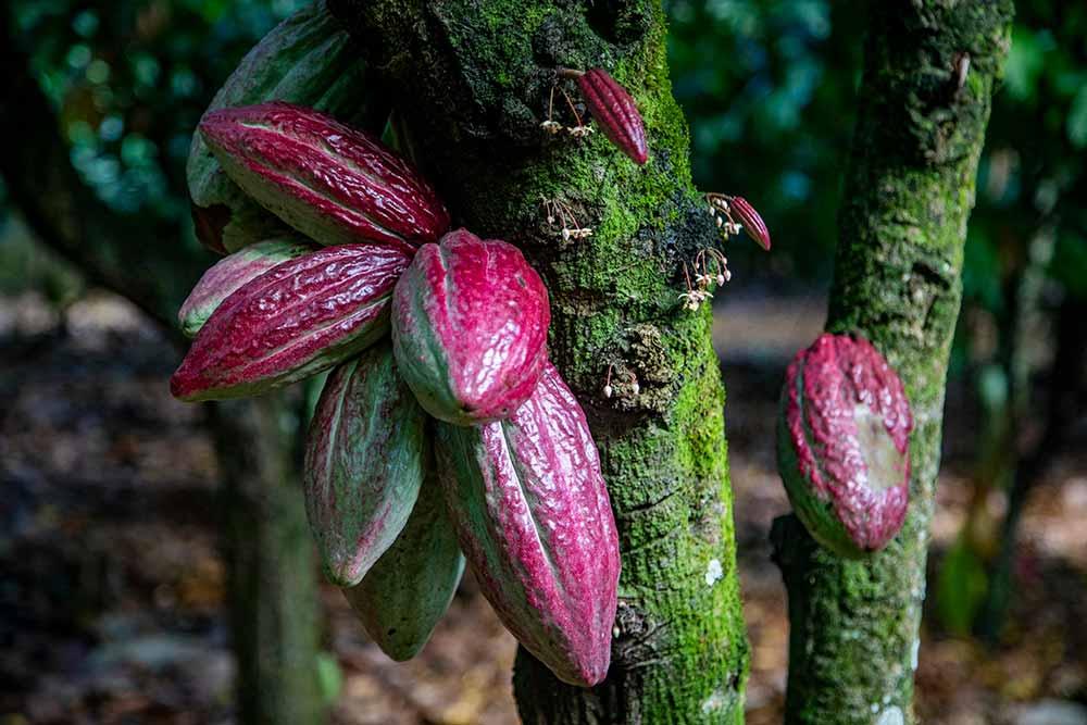 Ce sont des cabosses de cacaoyers… Elles poussent sur les troncs et les grosses branches. (Photo prise dans une plantation en République dominicaine)