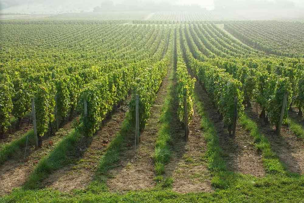 Vignoble Les Orfèvres du Vin