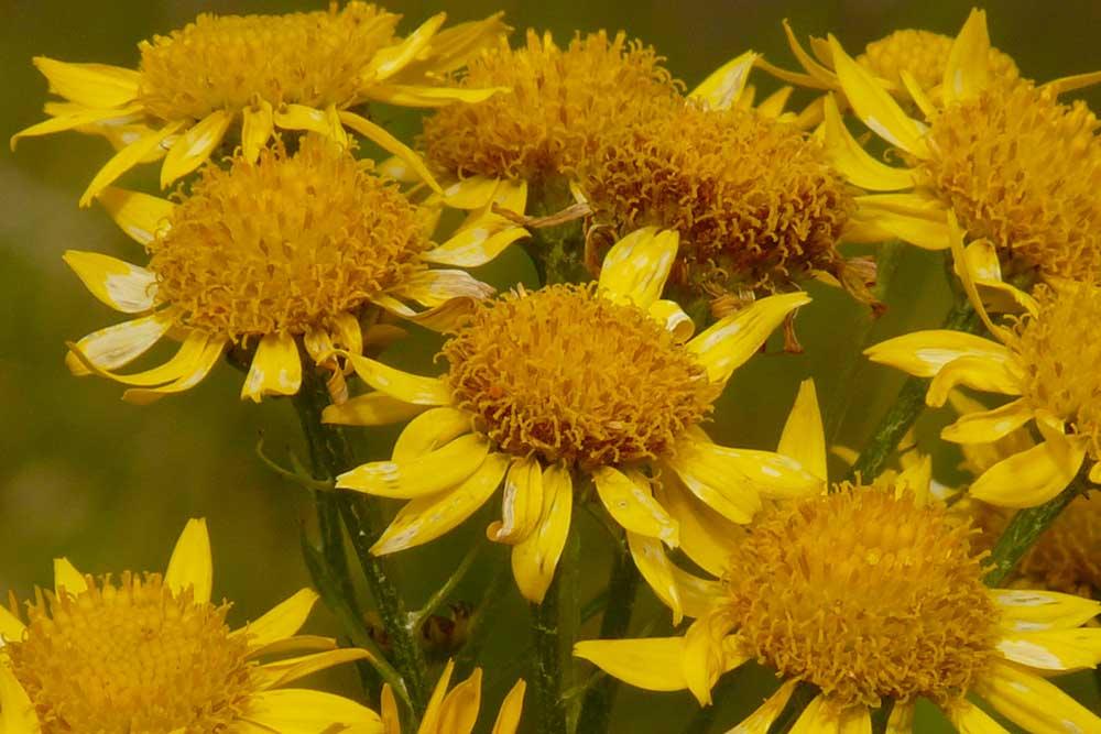 Fleurs d'Arnica Montana
