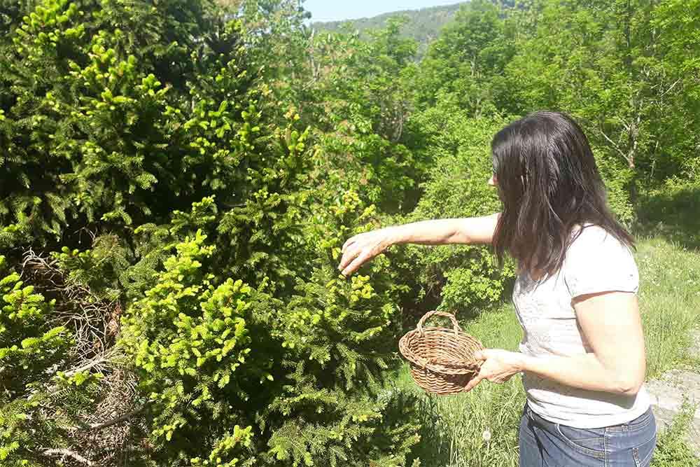 Récolte des bourgeons de sapin
