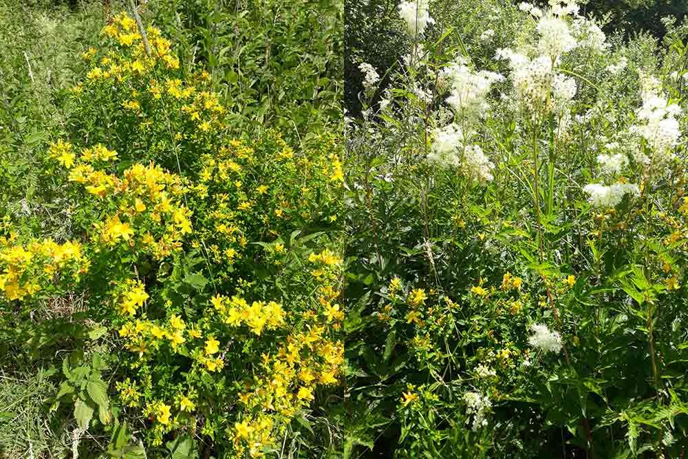Des plantes sauvages pour les macérats