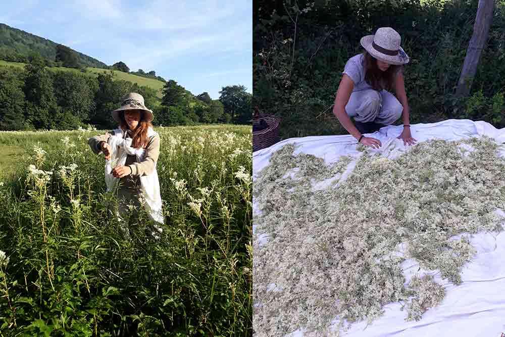 Cueillette des Reines des Prés et séchage des plantes