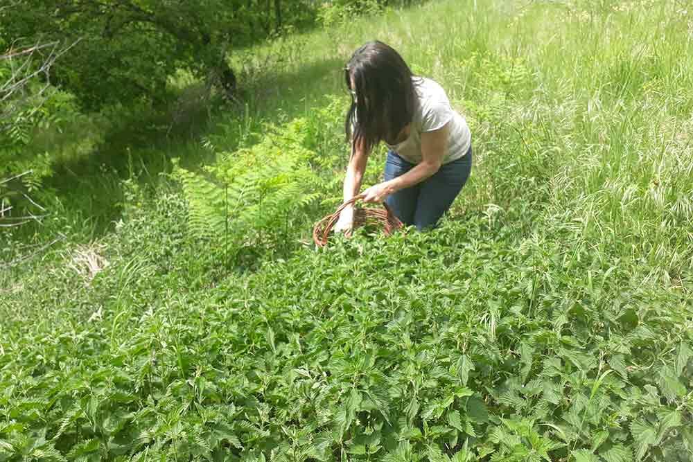 Douceur Cerise - récolte des orties piquantes
