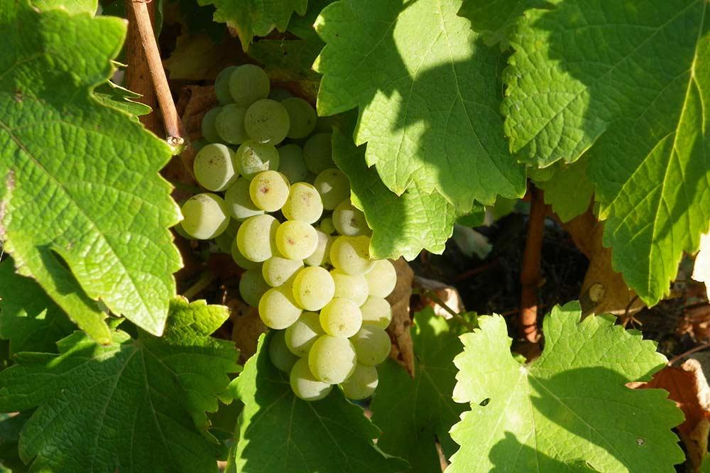 Vignes du Domaine Jamain : une belle grappe de raisins blancs.