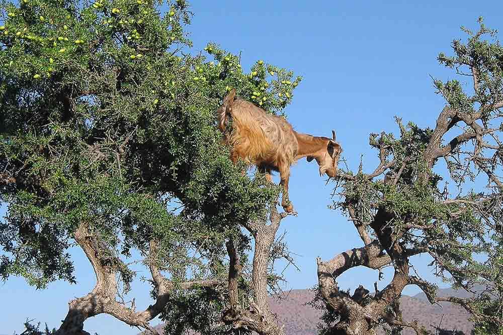 Un arganier au Maroc