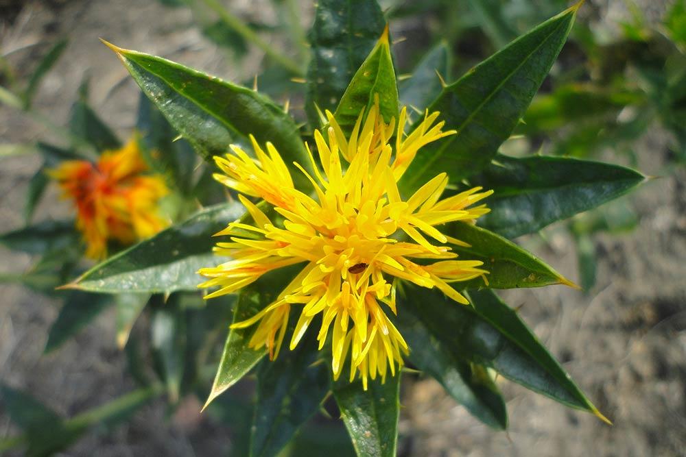 Fleur de Carthame