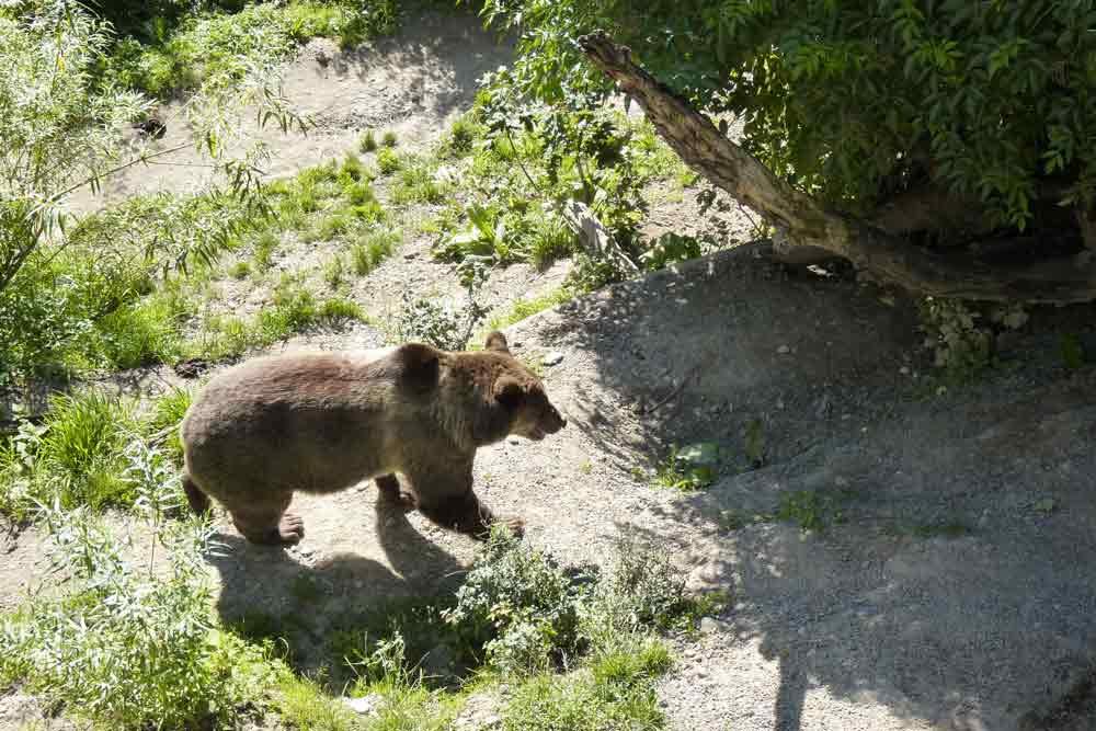 Brève apparition de l'animal dans son grand parc (Berne)