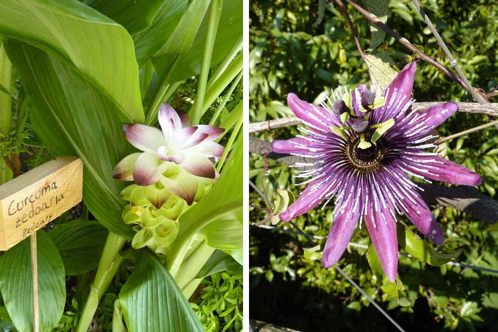 Fleur de curcuma et à droite, fleur de la passion (jardin, îles Brissago)