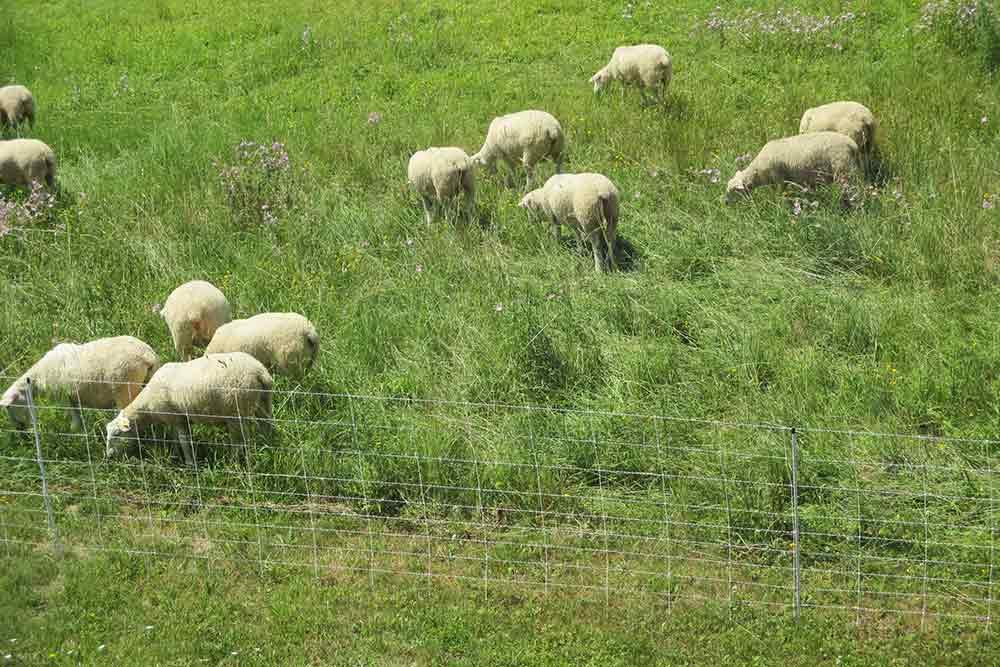 Les moutons paissent tranquillement sur ce qui fut le champ de bataille d'Alésia