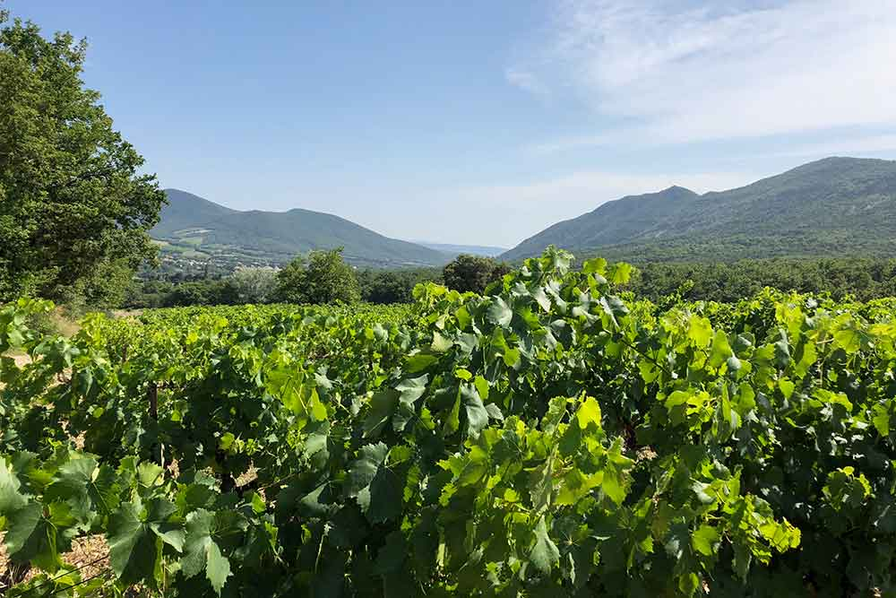 Domaine du Chardon Bleu - une partie du vignoble