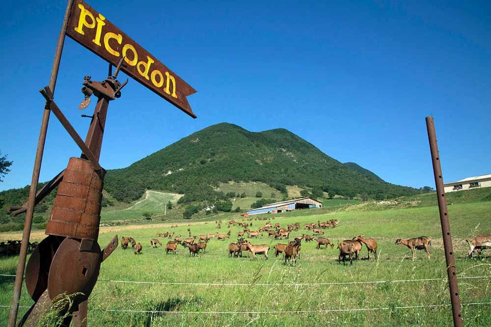 Vive le Picodon, des fromages de Chèvre tellement bons qu'on ne s'en lasse pas
